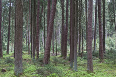 Forest in spring Royalty Free Stock Image