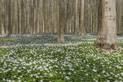 Forest in Spring with Bluebell and Anemone Royalty Free Stock Photos