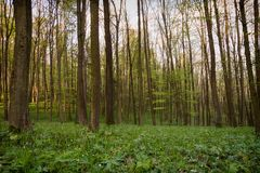 Forest in the spring Royalty Free Stock Photo