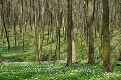 Forest in the spring. Flowers Royalty Free Stock Photo