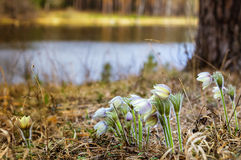 Forest spring flowers snowdrops in the woods, Royalty Free Stock Photography