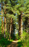Forest spring landscape -  row of pine trees and narrow path lit by sunlight. Stock Image