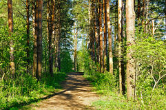 Forest spring landscape - row of pine trees and narrow path lit by sunshine Stock Images
