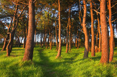 Forest in spring with last rays of sun. Forest in spring with red trunks due to last rays of sun Stock Photo