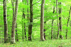 Forest in spring season with green leaves Royalty Free Stock Image