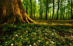 Forest. In spring at sunset Stock Image