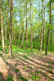 Forest in the spring time Royalty Free Stock Image