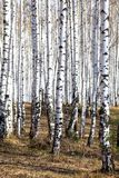 Forest in spring time. Birch forest in spring time royalty free stock images