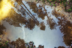 Forest in the spring with trees reflection in a puddle Stock Photos