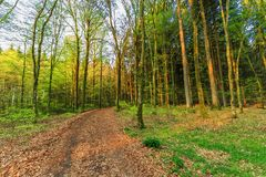 Forest is Spring, Vulkaneifel Gerolstein Germany. During sunrise awakening beech forest with soft green leaves in German Vulkaneifel in Gerolstein with Brown royalty free stock images