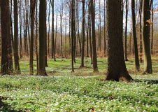 Forest in spring with white windflowers Royalty Free Stock Image