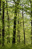 Forest in springtime Royalty Free Stock Photography