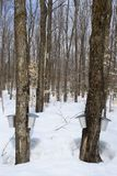 Forest in springtime during maple syrup season Stock Photo