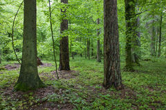 Forest at springtime morning. Mixed forest at springtime morning royalty free stock photos