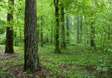 Forest at springtime morning. Mixed forest at springtime morning Stock Photography