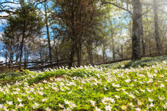 Forest in the springtime. Spring oak forest with white flowers Royalty Free Stock Photography