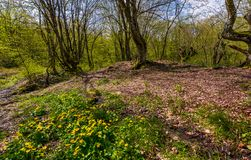 Forest in springtime on a sunny day. Lovely scenery with yellow flowers near the stream and green foliage on trees Stock Image