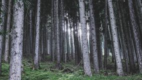 Forest, Spruce Fir Forest, Ecosystem, Tree Royalty Free Stock Photography