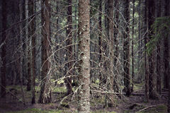 Forest with spruce trees Royalty Free Stock Photo