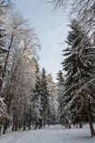 Forest spruce trees winter Royalty Free Stock Image