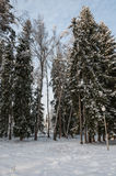 Forest spruce trees winter Stock Photography