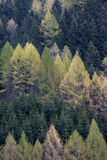 Forest of spruces and larches in spring. Spruces (Picea abies) and larches (Larix decidua) forest in spring. Valleve, Valle Brembana, Italy royalty free stock image