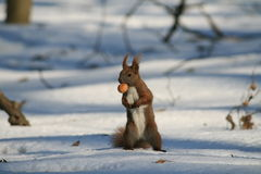 Forest squirrel Stock Images