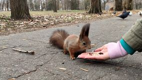 Forest squirrel eat walnut. Cute little red squirrel eating nut.  stock video footage