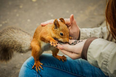 Forest squirrel eating sunflower seeds from a hand Stock Image