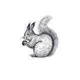 Forest squirrel illustration of the animal. Forest animal squirrel. Hand drawing sketch black ink on white background. Vector art illustration. Vintage Royalty Free Stock Photography