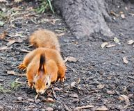 Forest squirrel. Red Squirrel. Squirrel. Autumn. Winter. Forest stock image