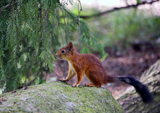 Forest squirrel Royalty Free Stock Images