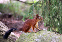 Forest squirrel Stock Photography