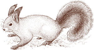 Forest squirrel Royalty Free Stock Photography
