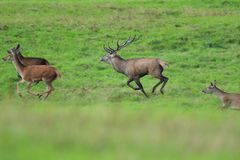 Forest stag in the pairing season rut Stock Images