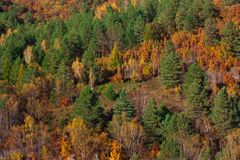 The forest stands as a wall, green spruce, among the bright red. Far Eastern forest in autumn, bright yellow red and green colors: coniferous trees, birches and stock photography