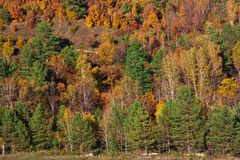 The forest stands as a wall, spruce rows, bright red Far Eastern. Far Eastern forest in autumn, bright yellow red and green colors: coniferous trees, birches and royalty free stock image