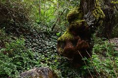 Forest still life with mossy knotty tree trunk and creeping ivy of hedera genus on ground Stock Images