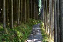 Forest of straight Cryptomeria trees, or Japanese cedar, along the Kiyotaki to Takao trail in Kyoto. Path through a forest of Cryptomeria, also known as Japanese Stock Images