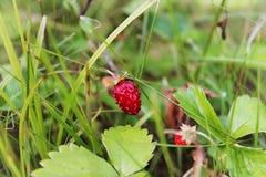 Forest Strawberries Royaltyfri Foto