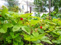 Forest strawberries are cultivated in the garden area.  royalty free stock image