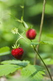 Forest strawberries. Tasty and wild forest strawberries Royalty Free Stock Photography