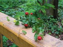 Forest strawberries on a wooden fence royalty free stock photography