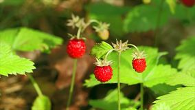 Forest strawberries stock footage