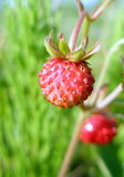Forest strawberry alone. Closeup of wild forest strawberry royalty free stock photos