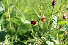 Forest strawberry on the background of leaves and grass stock image