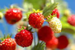 Forest strawberry bright sweet. Forest strawberry on blue sky stock photography
