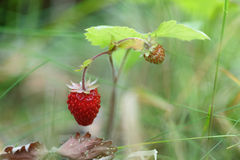 Forest strawberry close up Royalty Free Stock Images