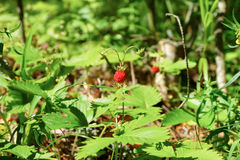 Forest strawberry Royalty Free Stock Images