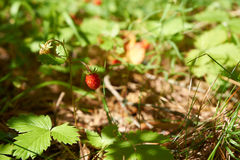 Forest strawberry Royalty Free Stock Photos